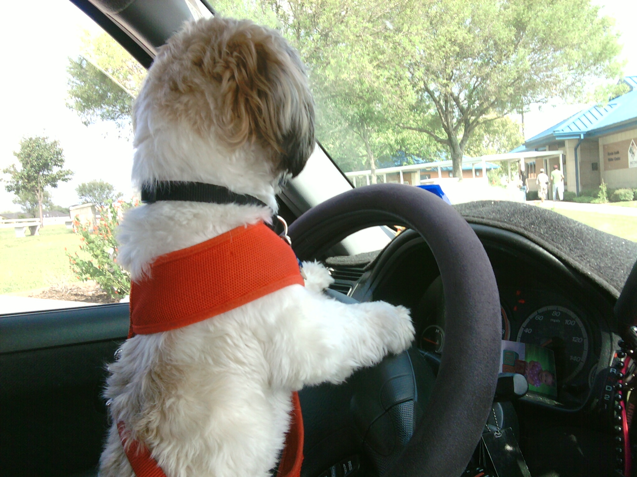 little dog standing at steering wheel in vehicle as if driving